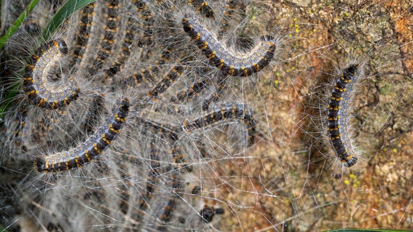 Hilversum controleert duizenden eiken op nesten processierups