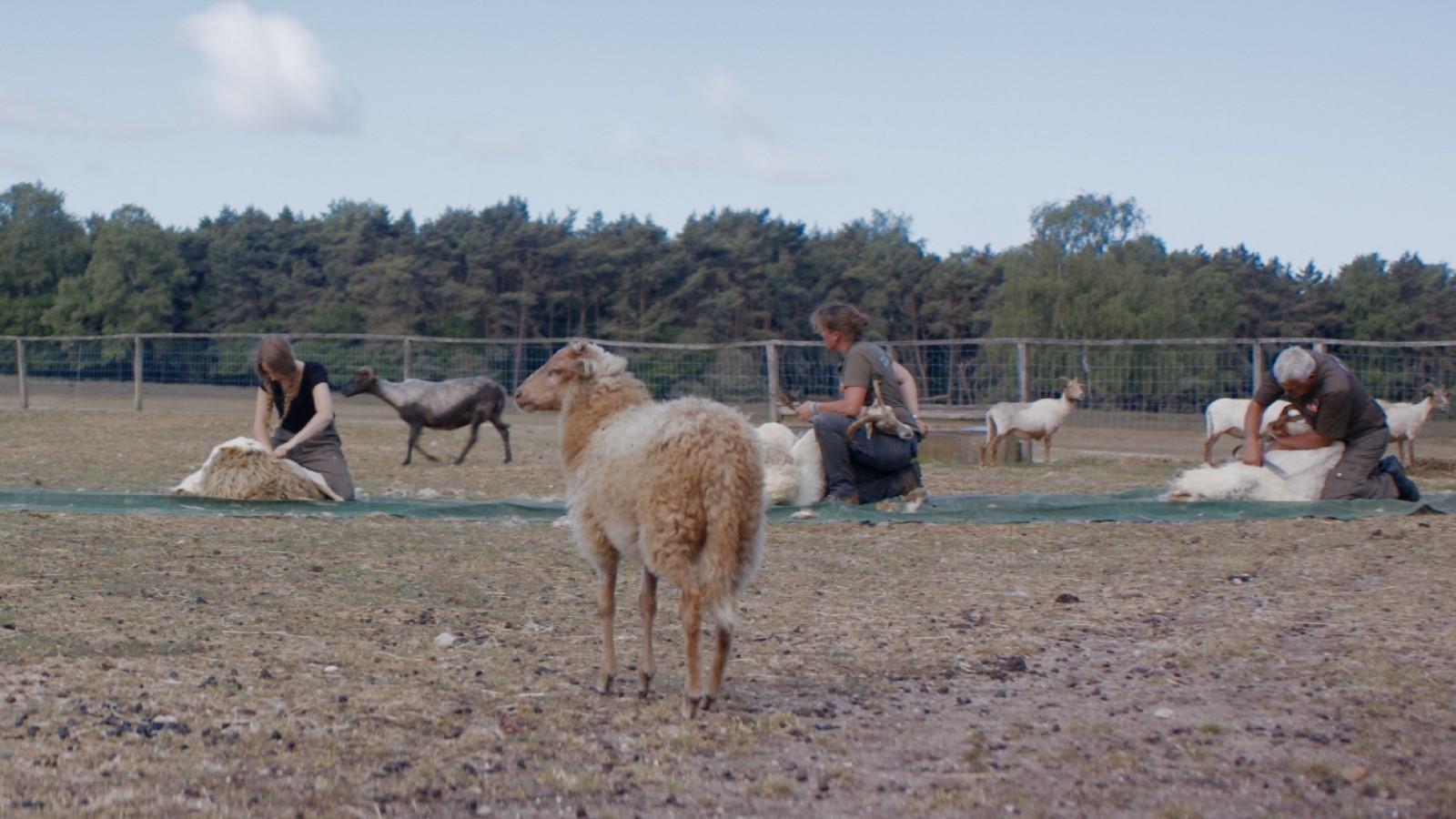 Na 29 jaar geen Goois schaapscheerfeest, maar schapen scheren op afstand