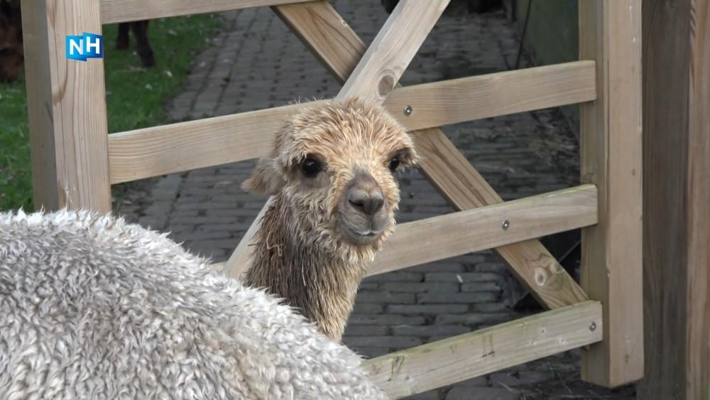 Anti-coronastress: wandelen met Gooise alpaca's