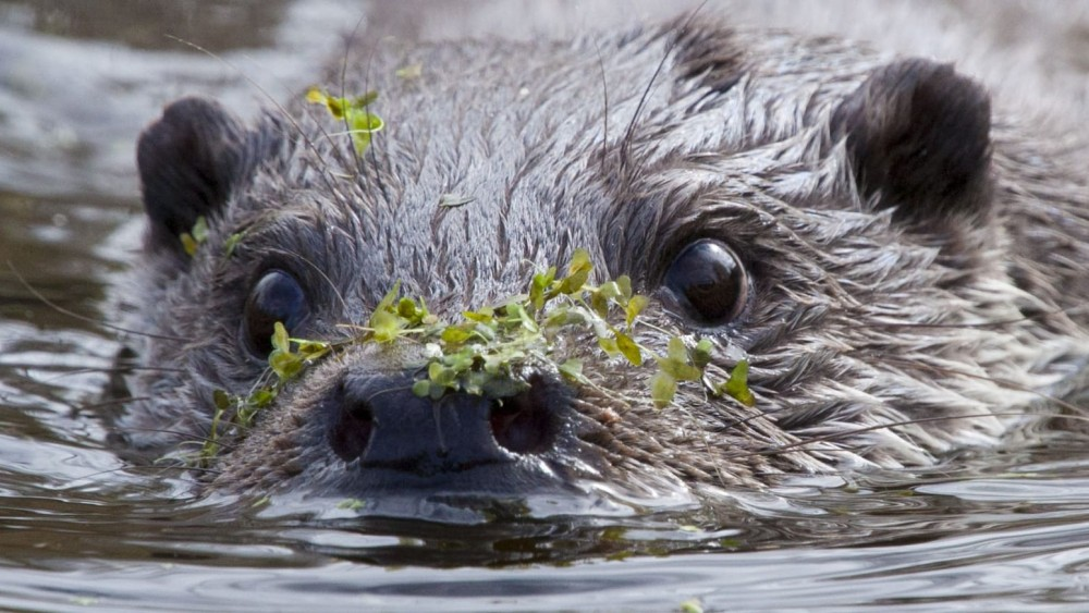 Enorme toevalstreffer: otter gezien in Ankeveense Plassen