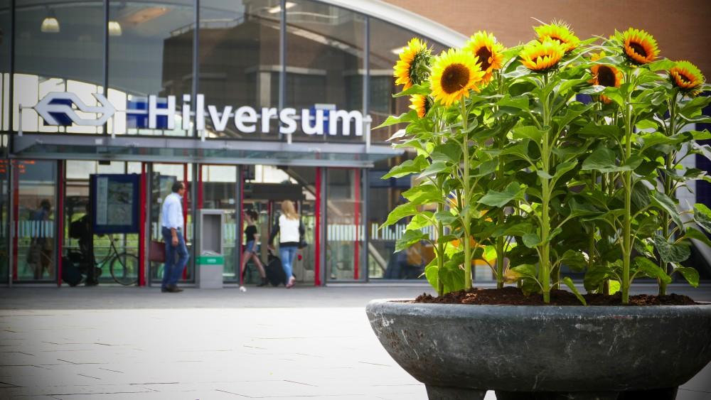 Hilversum weer vol met zonnebloemen ter nagedachtenis van slachtoffers MH17