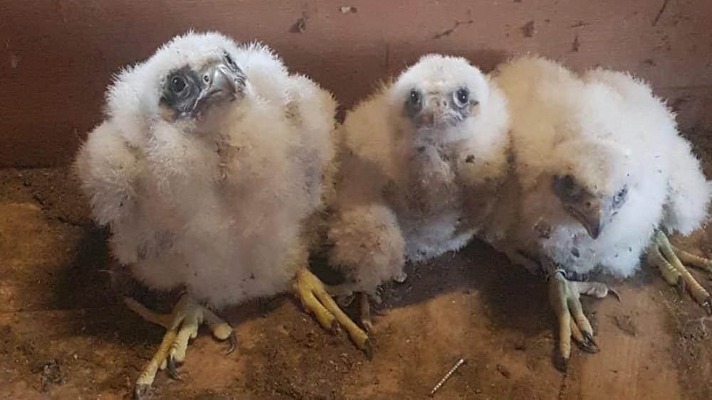 Voor het eerst drie jonge slechtvalken in Sint Vituskerk na plaatsing nestkast