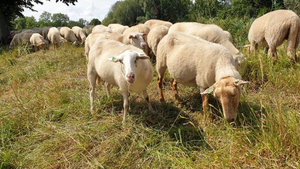 Tientallen schapen houden gras op Weesper schansen weer kort