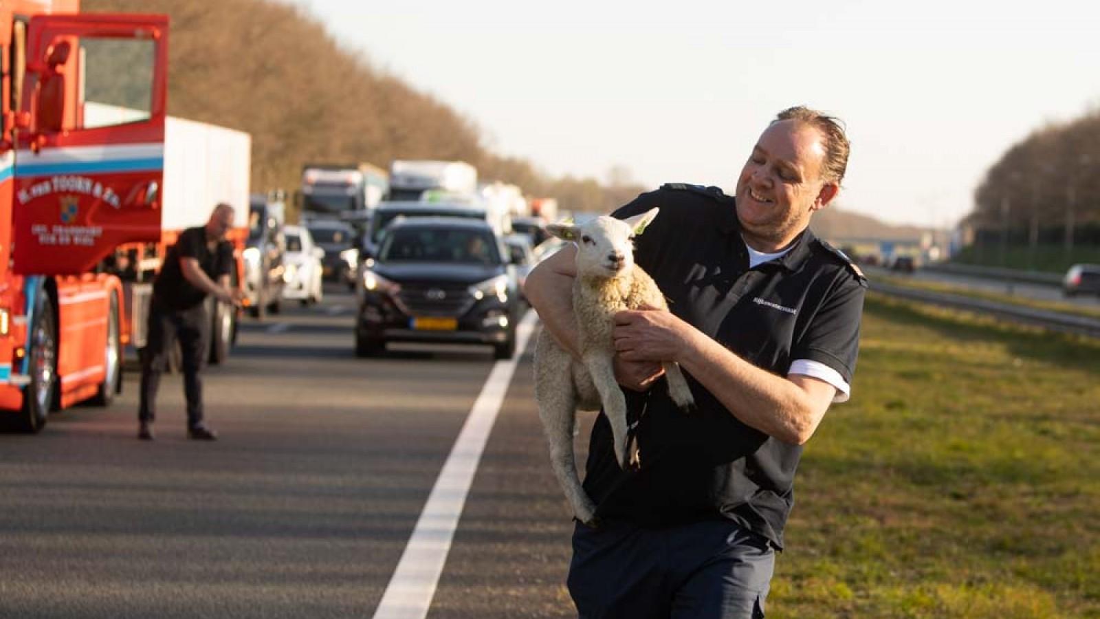 Ontsnapt lammetje zet bloemetjes buiten op A27: vrachtwagenchauffeur biedt redding